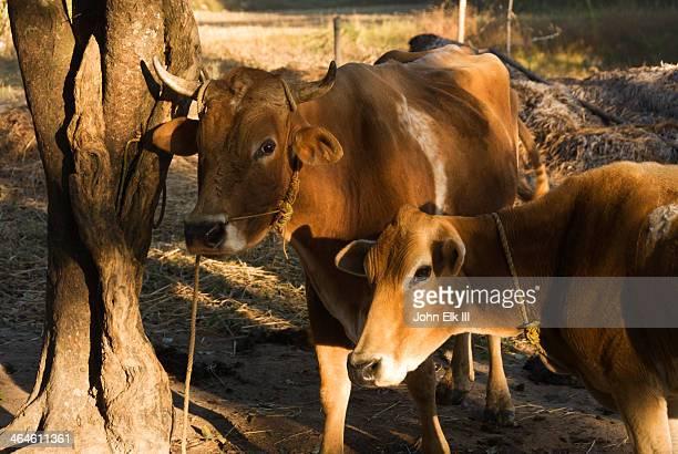 Kodagu Hills, Madikeri, cows