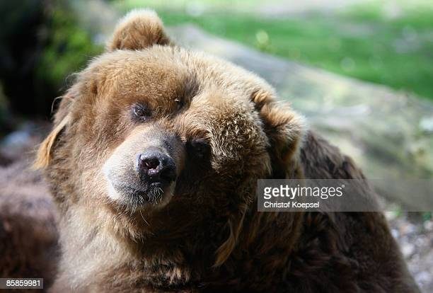 Kodiak bear enjoys lying in the sun at the Wuppertal Zoo on April 8 2009 in Wuppertal Germany