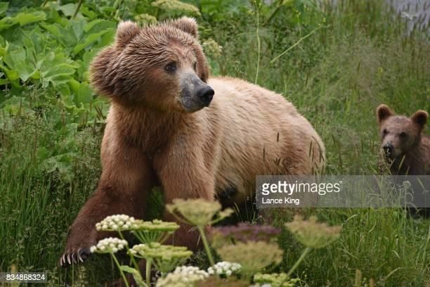 Kodiak Grizzly Bears in Alaska