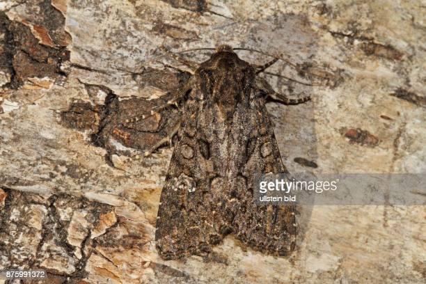 Kohleule Falter am Baumstamm mit geschlossenen Fluegeln sitzend von hinten