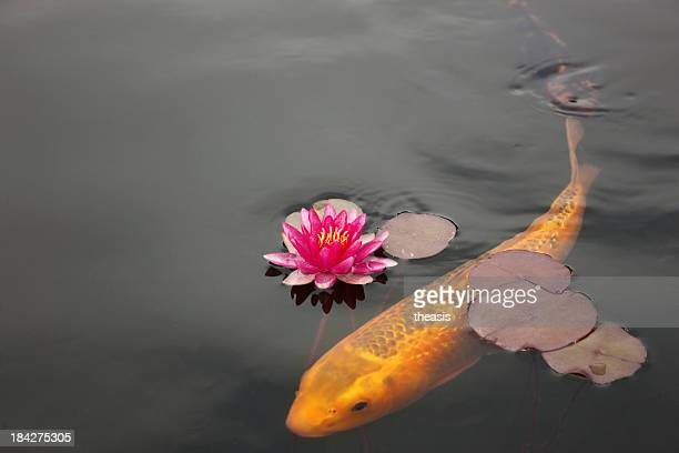 Koi Carp and Water Lily