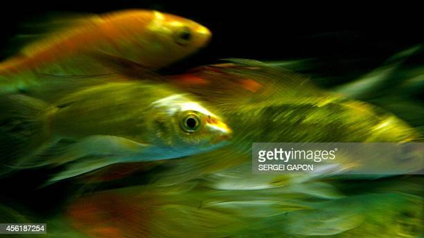 Koi carp fishes are seen inside an aquarium at the exhibition 'Aquaforum' in Minsk on September 27 2014 AFP PHOTO / SERGEI GAPON