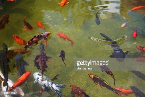 Koi carp in a pond : Stock Photo