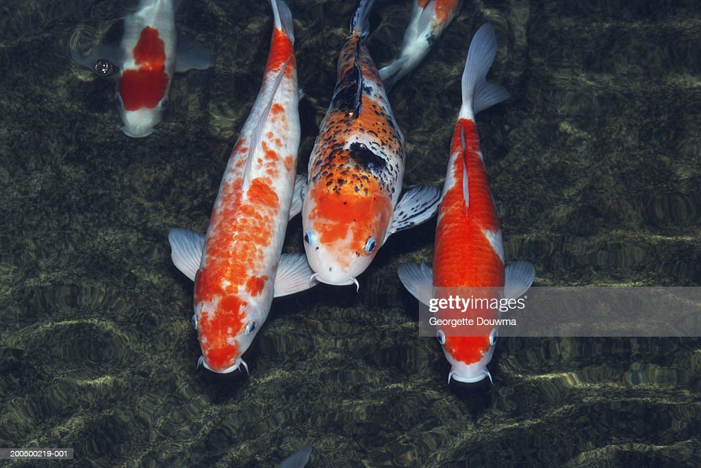 Koi carp (Cyprinus carpo) in pond, close-up