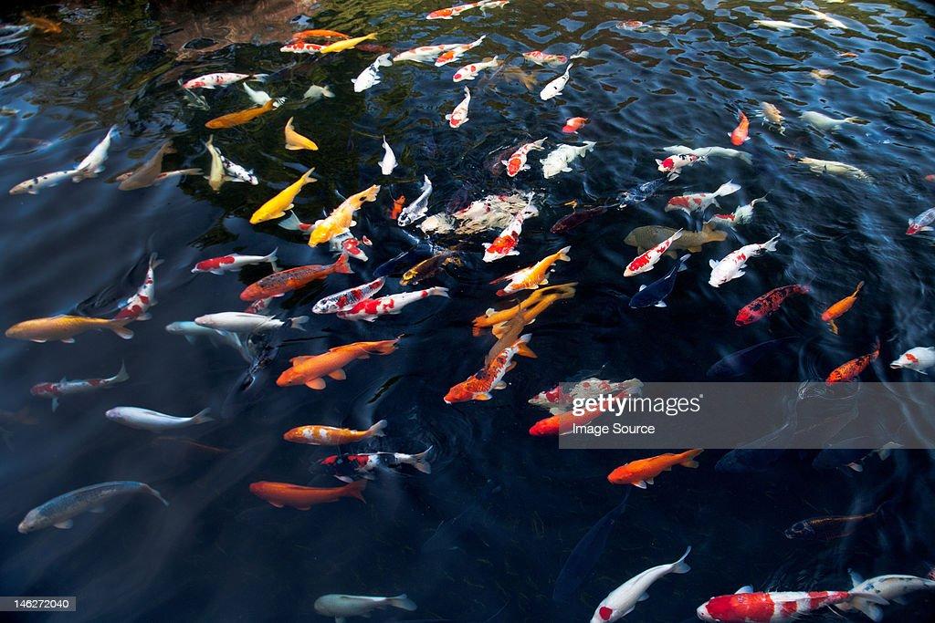 Koi carp in pond : Stock Photo