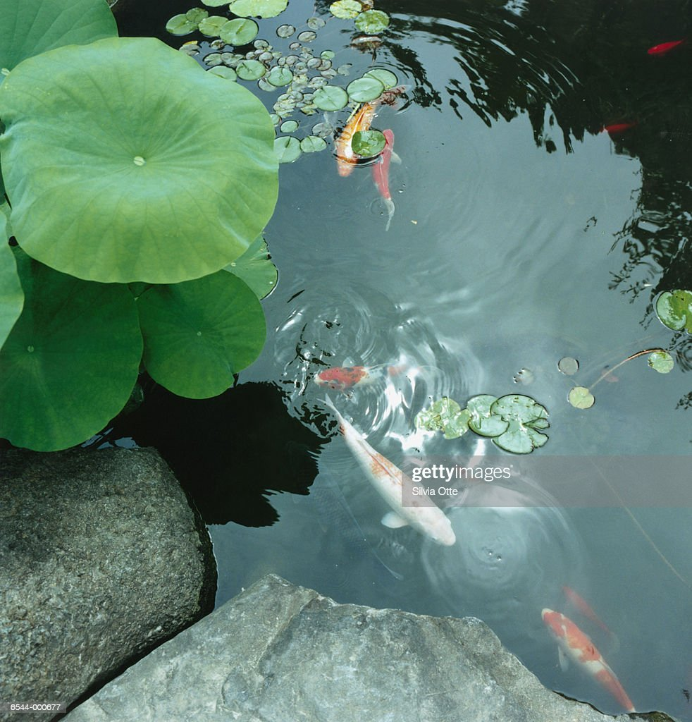 Koi carp in pond stock photo getty images for Koi carp pond
