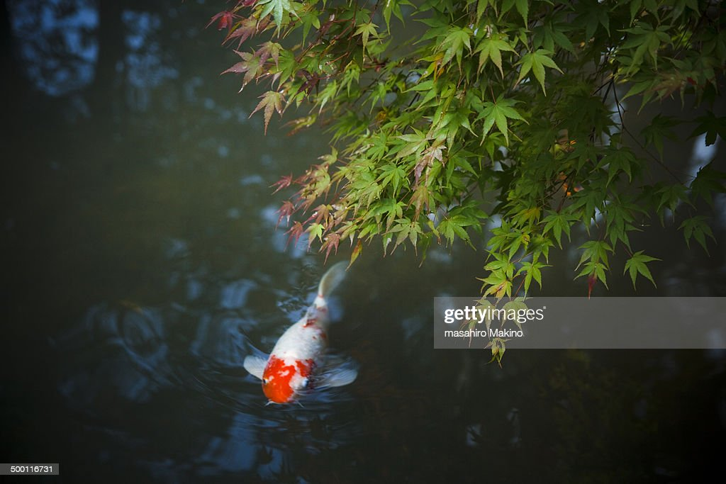Koi Carp Swimming Under Maple Tree