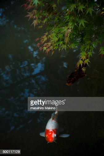 Koi Carps In A Pond Swimming Under Japanese Maple Stock