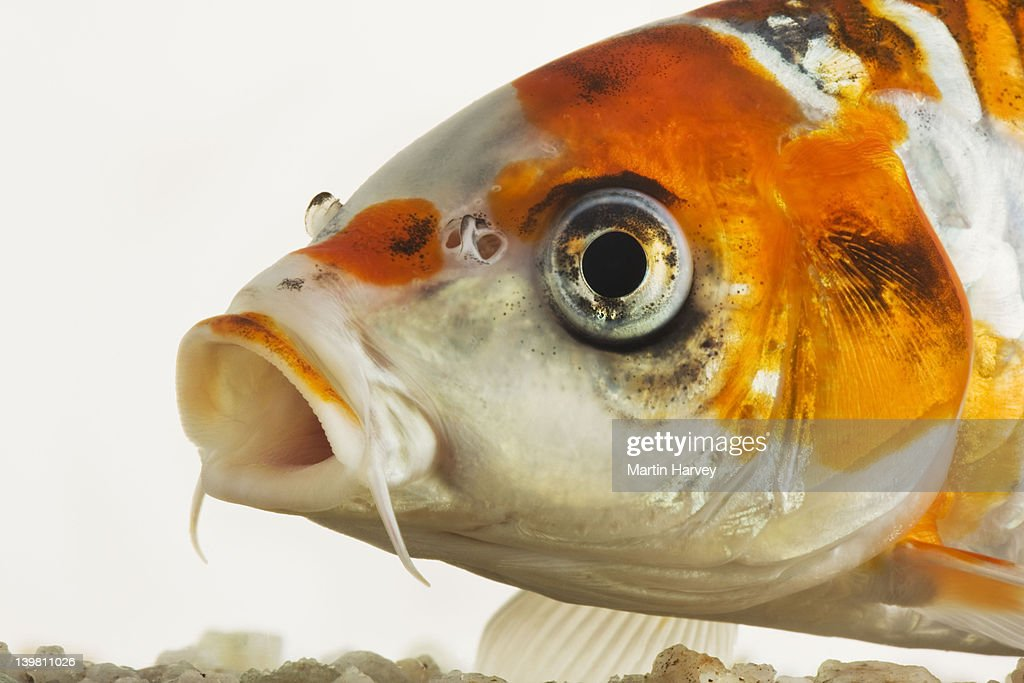 Koi fish. Domesticated variety of the common carp (Cyprinus carpio) bred in different colour patterns. Against white background. : Stock Photo