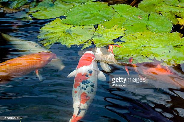 Koi Fish feeing on lotus leaves