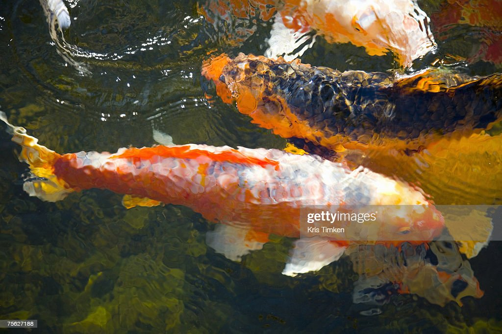 Koi fish in water high angle view stock photo getty images for Koi fish water