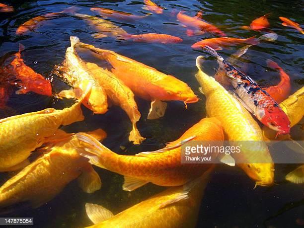 Sedgwick county zoo foto e immagini stock getty images for Koi fish environment