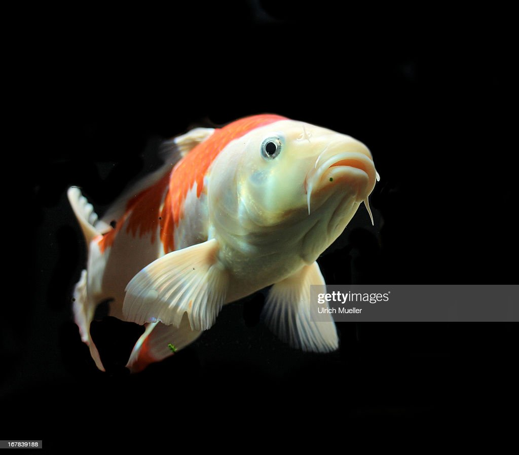 Koi fish stock photo getty images for Pictures of coy fish