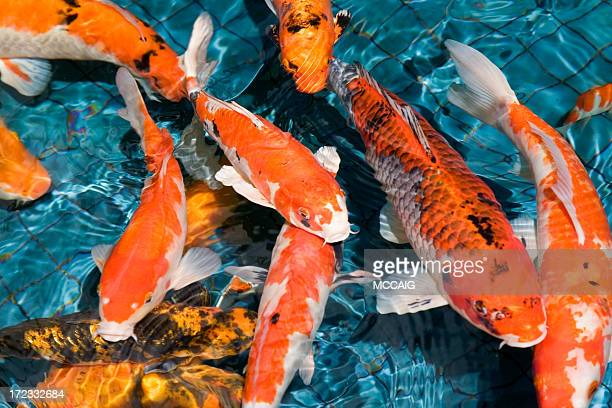 Koi carp stock photos and pictures getty images for Biggest koi fish