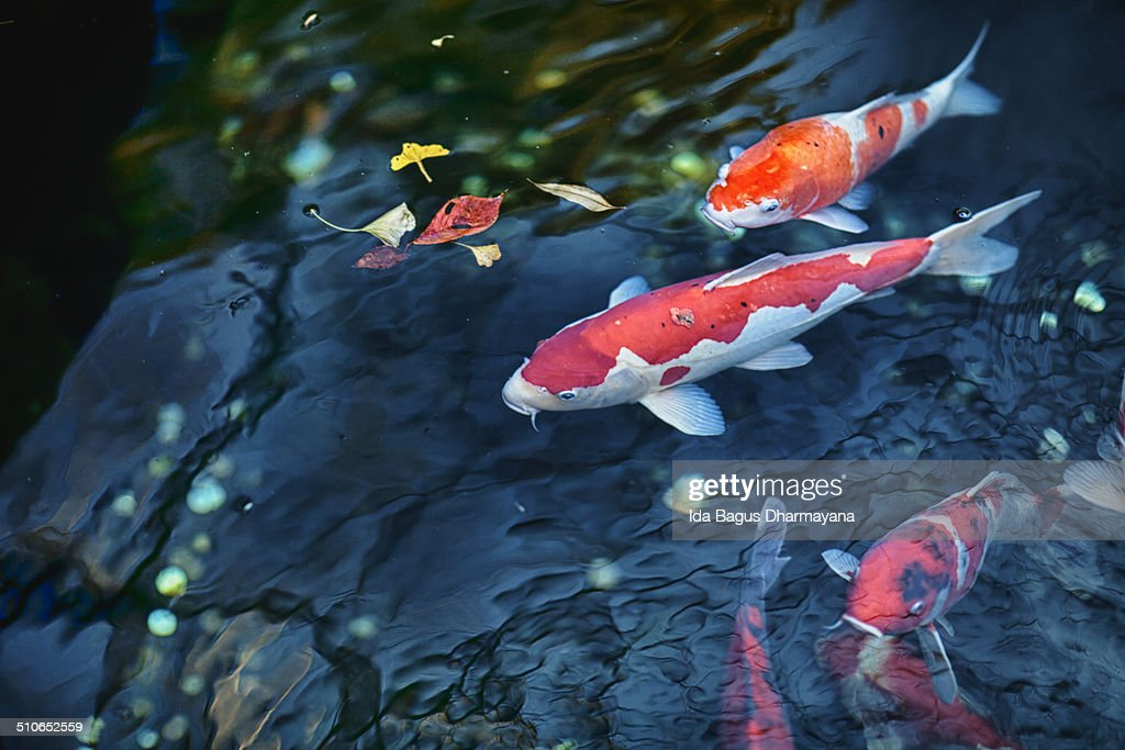 Koi fish stock photo getty images for Koi pool opening times