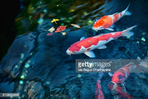 Koi fish stock photo getty images for Koi fish culture