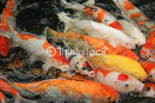 Peces koi en agua foto de stock thinkstock - Peces koi precio ...