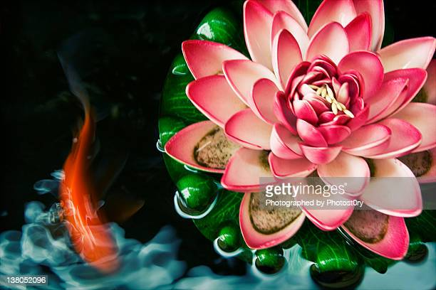 Koi fish with pink water lily in pond