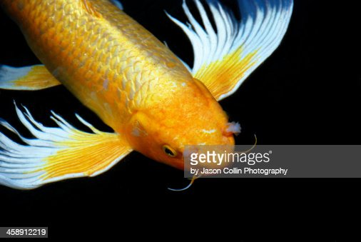 A koi fish with serious nasel problems stock photo getty for All black koi fish