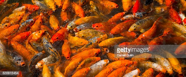 Koi in pool stock photo getty images for Koi show pools