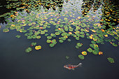 Koi or Japanese Carp (Cyprinus carpio), swimming by water lilies (Nymphae) in pond
