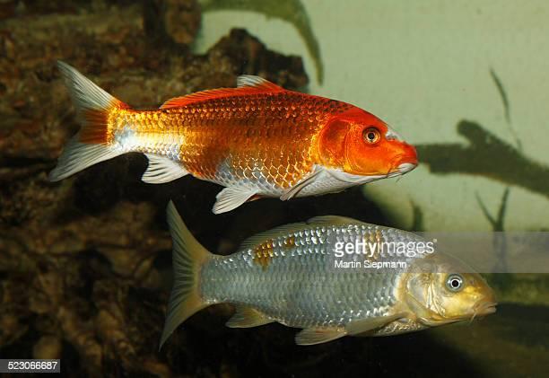 Koi, or Nishikigoi -Cyprinus carpio- in aquarium