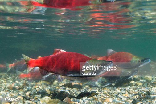 Kokanee Salmon Spawning