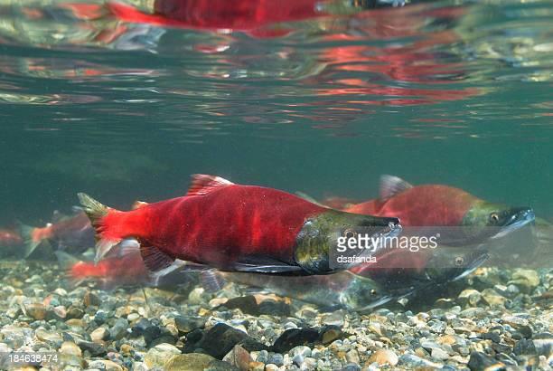 Deposizione di uova di pesce Salmone Kokanee
