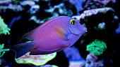 Kole surgeon fish in marine tank