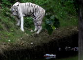 An Indian white tiger looks as bottles and debris float in a water body inside its enclosure in Kolkata Zoo 02 July 2007 In spite of a continued...
