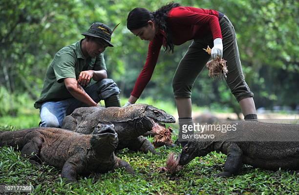 Komodo activist Zebby Febrina feeds komodos at Jakarta Ragunan Zoo on November 28 2010 The komodo dragon is a vulnerable species found on the...