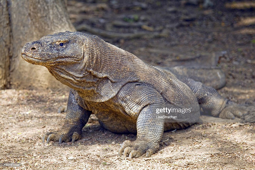 Komodo dragon in the wild, Indonesia. : Stock Photo
