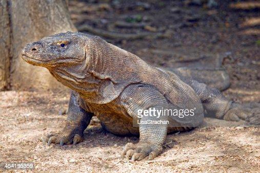 Komodo dragon in the wild, Indonesia. : Stock Photo