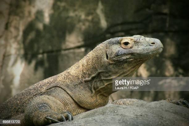 Komodo Dragon on rock