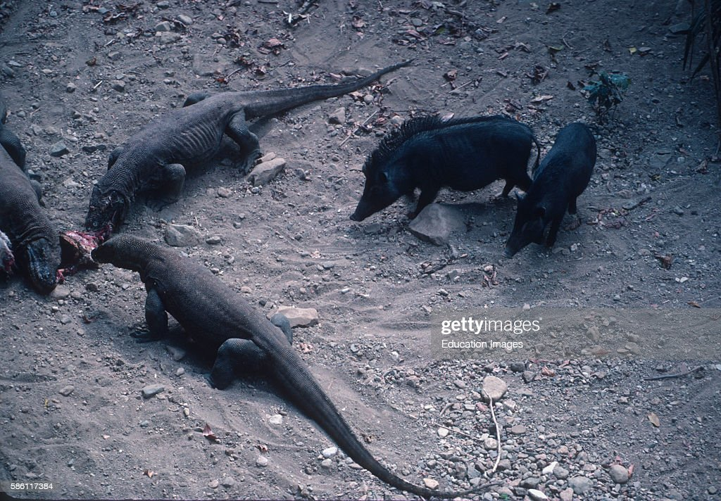 Komodo Dragons consuming goat with wild boar Komodo Island Indonesia Varanus komodoensis