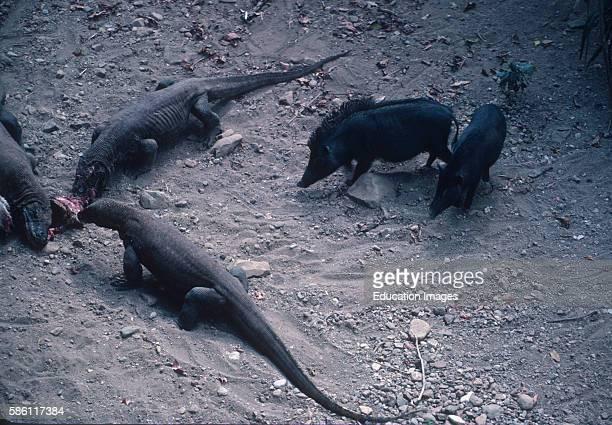 Ussuri Wild Boar v Komodo Dragon - Carnivora