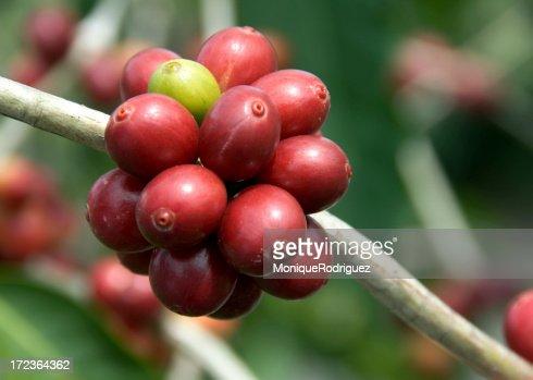 Kona Coffee Plant