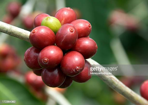 Kona Coffee Plant