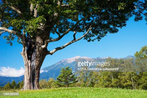 Konara oak tree and Mt. Ontake, Nagano Prefecture, Honshu, Japan : Foto de stock