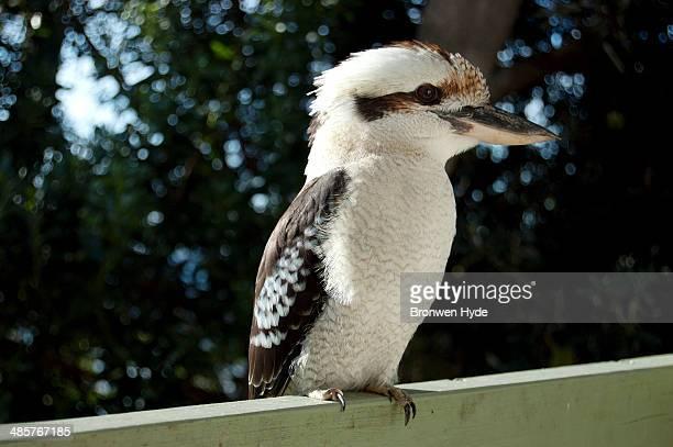 Kookaburra in profile perched on railing