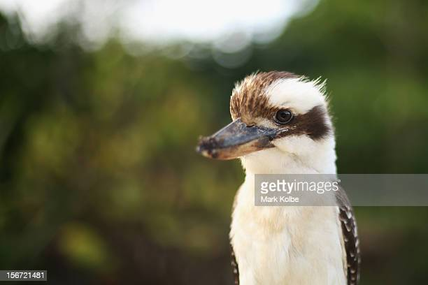 A kookaburra is seen in the Cattana Wetlands on November 14 2012 in Cairns Australia Located in Far North Queensland the Cairns region is one of...