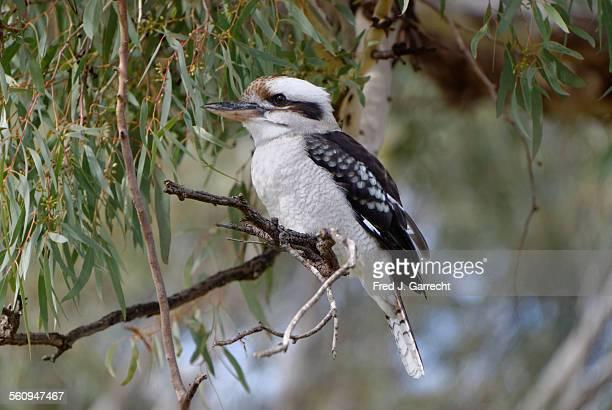 Kookaburra on the Murray River
