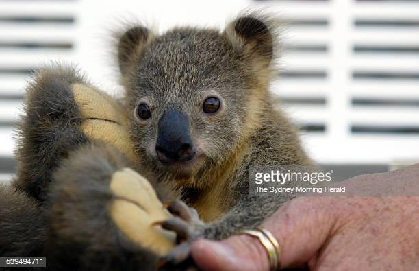 Koori a tiny baby koala bear that was not expected to survive and weighs just 350 grams hangs on to a stuffed wombat toy at Taronga Park Zoo Sydney...