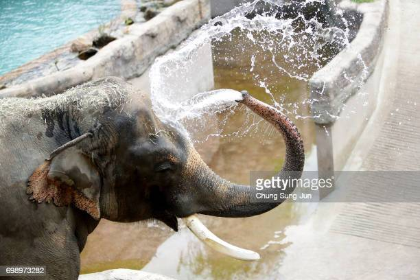 Kosik a 27 year old male Asian elephant enjoys water during the summer season to get by the heat at the Everland Amusement Park on June 21 2017 in...