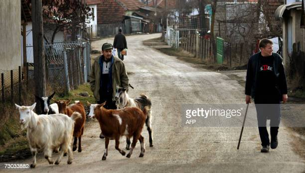 Kosovo Serbs look after their goat in the streets of the Serb enclave Gracanica 18 January 2007 Serbs go to the polls for parliamentary elections 21...