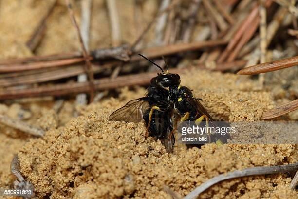 Kotwespe in Sandflaeche erbeutete Fliege in Nest ziehend