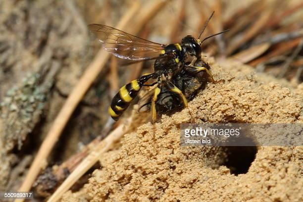 Kotwespe in Sandflaeche mit erbeuteter Fliege links neben Nestroehre stehend rechts sehend