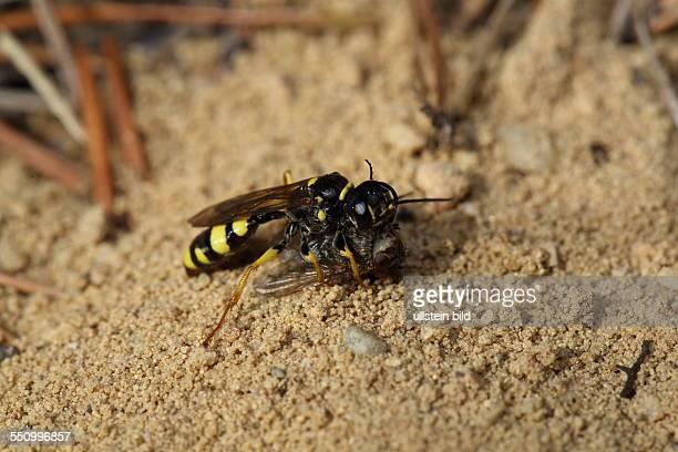 Kotwespe in Sandflaeche mit erbeuteter Fliege stehend rechts sehend