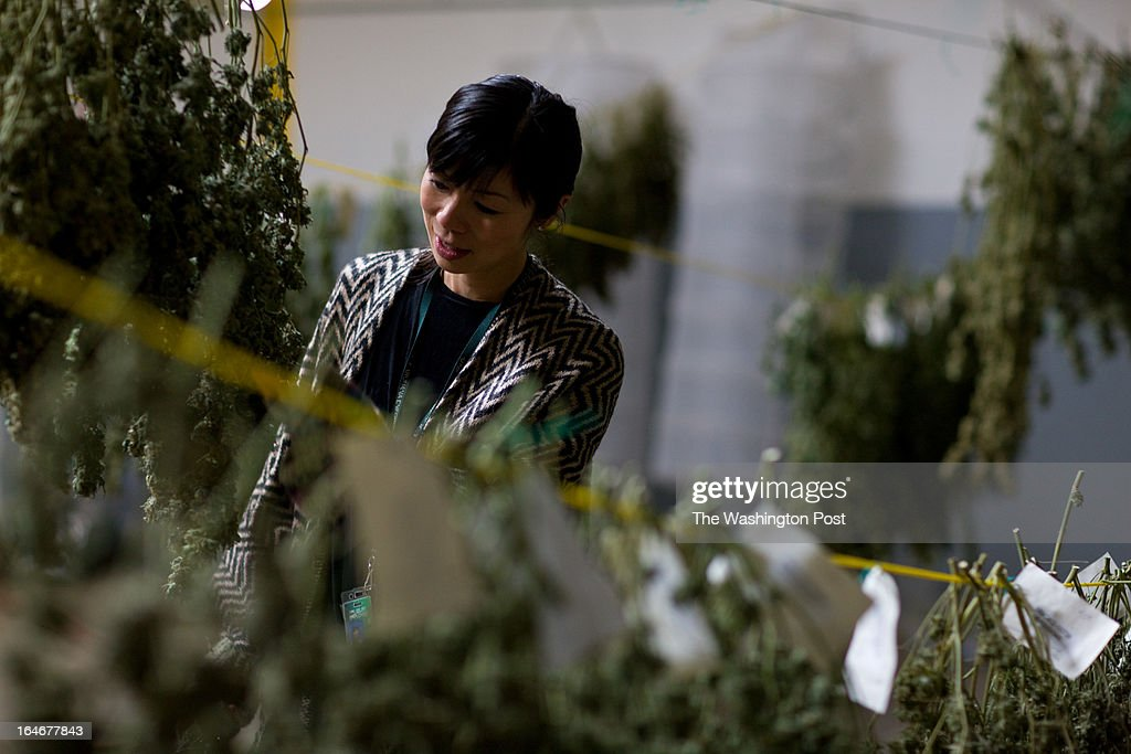 Kristi Kelly looks at cannabis as it hangs inside the 'cure room' inside a medical cannabis cultivation facility in Denver, Colorado, U.S., on Monday, March 4, 2013. This is inside a warehouse in Denver, and is one of the facilities that Kristi Kelly, Co-Founder of Good Meds Network, operates.