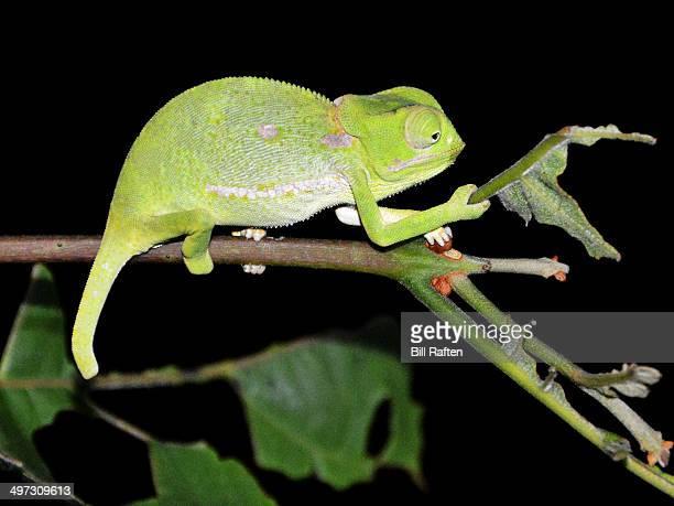 Kruger - Flap Neck Chameleon on a branch at night